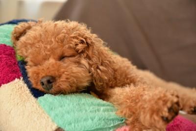 カラフルなベッドで眠る子犬