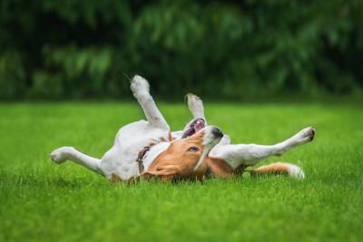 芝生の上で寝転がっているビーグル犬