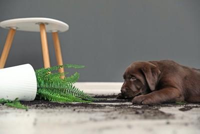 倒れた鉢植えと伏せる子犬