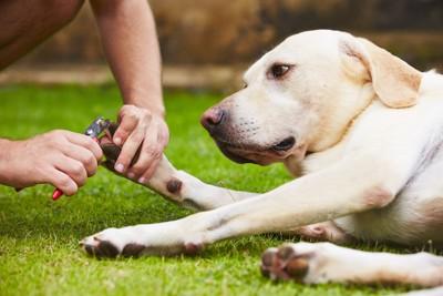 飼い主に爪切りをされるレトリバー