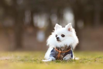 洋服を着て芝生に伏せるチワワ