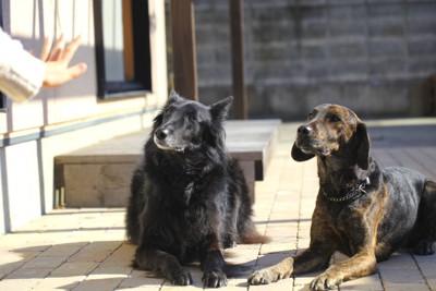 伏せて指示を待つ2匹の犬