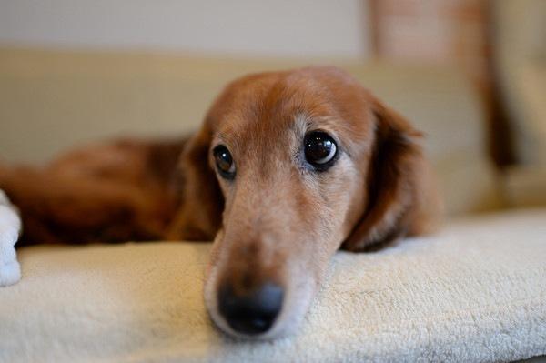 ソファに寝る老犬