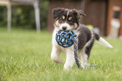 おもちゃで遊ぶボーダーコリーの子犬