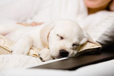 飼い主のそばで安心して眠る子犬