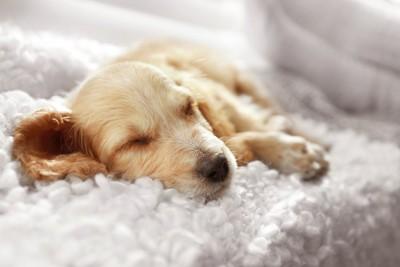 リラックスして眠るコッカーのパピー