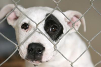 フェンスから鼻先を出す白黒の犬