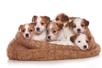布に包まれて寄り添う6匹のジャックラッセルテリアの幼犬