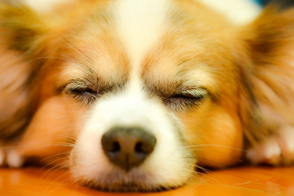眠る犬、正面顔