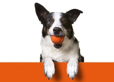 オレンジのボールをくわえた犬