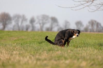 草原の中でウンチする黒い犬
