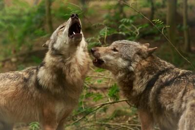 2匹のオオカミ