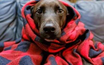 ブランケットにくるまれて見つめる犬
