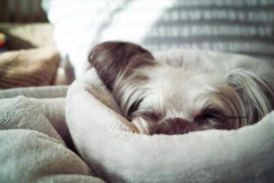 ベッドに顔を埋める犬
