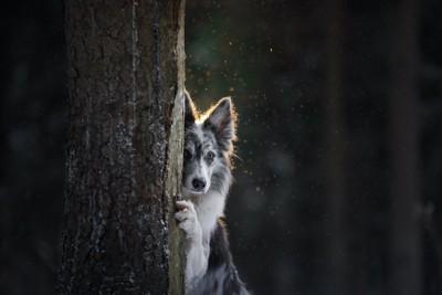 木に隠れてこちらを見つめる犬