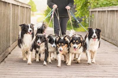 たくさんの犬を連れて散歩をしている写真