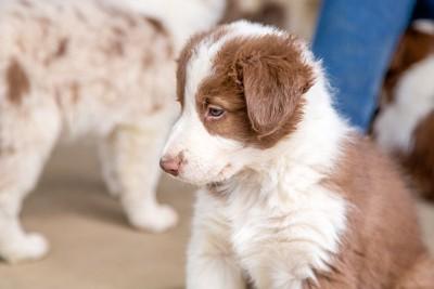 ブリタニースパニエルの子犬