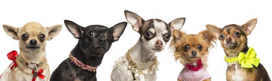 おしゃれな首輪を付けた犬達