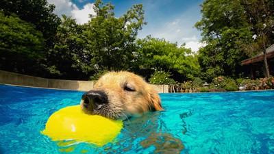 黄色いボールをくわえて泳ぐ犬