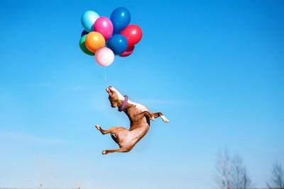 風船に向かってジャンプする犬