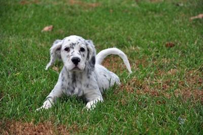 イングリッシュセッターの子犬