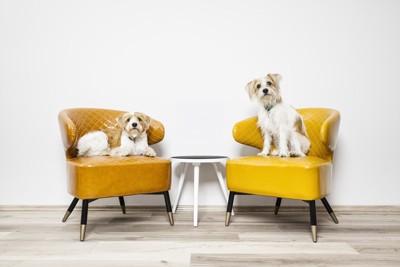 椅子に上がっている二匹の犬