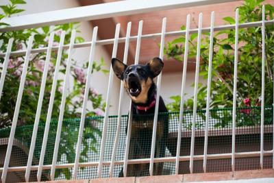 ベランダの柵から顔を出して吠える犬