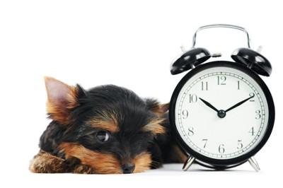 時計のそばでくつろぐ犬
