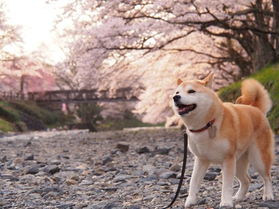桜の花と犬
