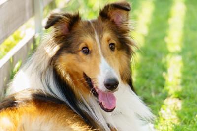 舌を出し笑顔を見せる犬
