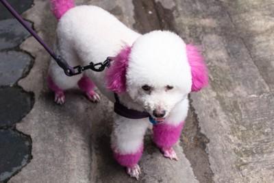 耳と足がピンクのプードル