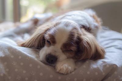 布団の上で寝ている犬