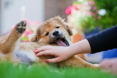 お腹を撫でられている犬