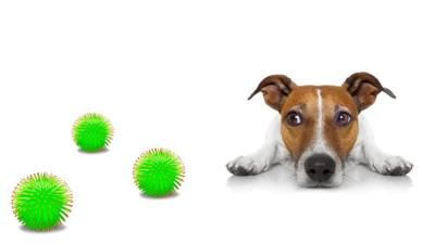 ウイルスの模型とジャックラッセルテリア