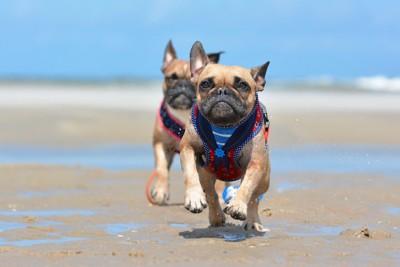 砂浜を走る二匹の犬