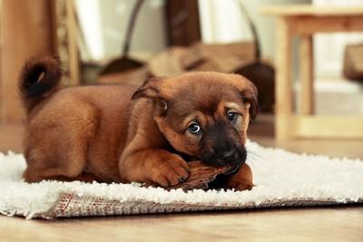 おもちゃを噛む茶色の子犬