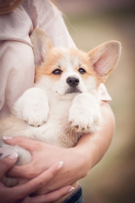 仰向けに抱っこされている子犬
