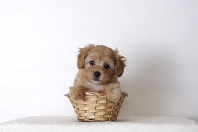 カゴに入ったトイプードルの幼犬