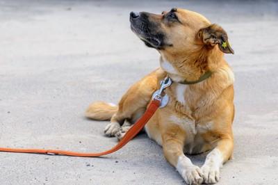 伏せの姿勢で横を見上げる犬