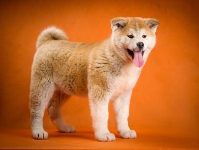 海外で人気の秋田犬