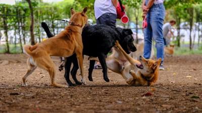 ボールを取り合う柴犬二頭