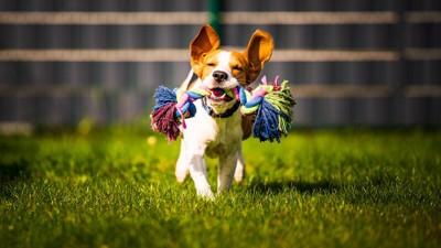 オモチャを咥えて芝生を駆ける犬