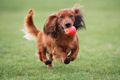 リンゴを銜えて走る犬