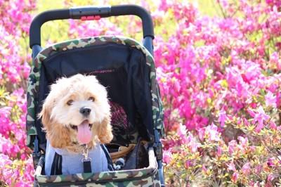 犬用バギーに乗っているアメリカンコッカースパニエル