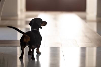 玄関でうろつく犬