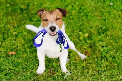 リードを咥えて芝生の上に座る犬
