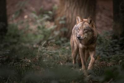 森の中を歩くオオカミ