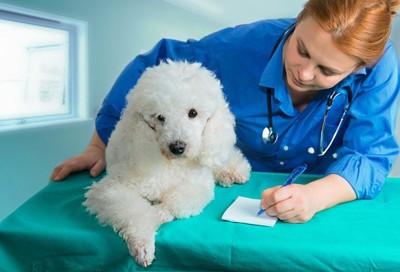 獣医と白いプードル