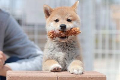 木の棒を咥えた柴犬の子犬
