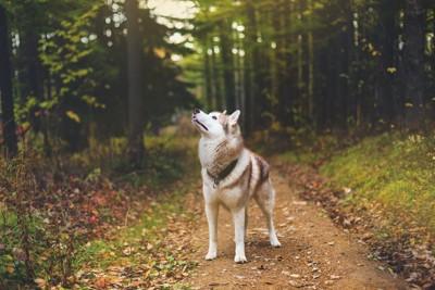 森林に立って上を見るシベリアンハスキー